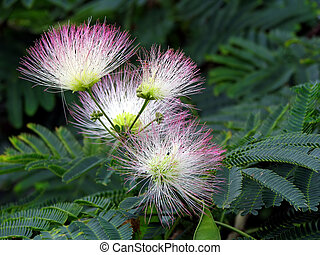 mimosa blooms - summer mimosa tree flower blooming with...