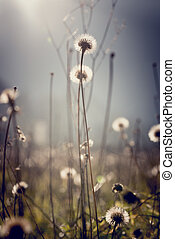Dandelion clocks with bright sun flare for an ethereal...