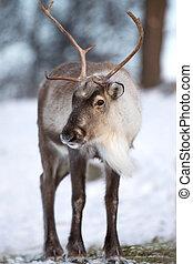 馴鹿, 吃, 森林, 冬天
