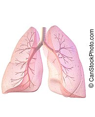 lung and bronchi - 3d rendered anatomy illustration of lung...
