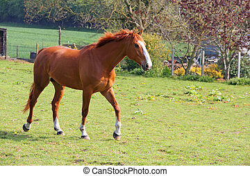 Brown horse - Beautiful brown horse outdoors in Normandy,...