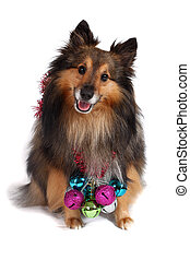 Christmas dog - Brown and black Sheltie dog with hanging...
