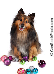 Christmas dog - Brown and black Sheltie dog surrounded by...