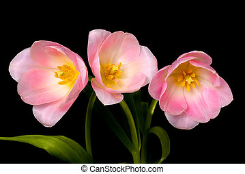 Tulip Floral Arrangement - Tulip Floral arrangement isolated...