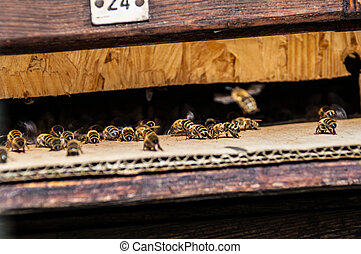 Beehive - bees flying in and out of a beehive