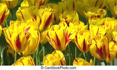 Dutch tulip border, yellow with red stripes - full screen...