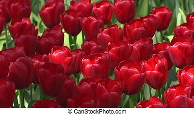 Dutch tulip border in red - full screen