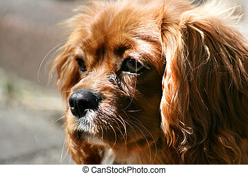 Ruby (Tan) Cavalier King Charles Puppy