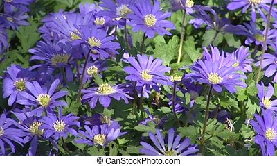 Grecian Windflower, Anemone blanda - full screen - Grecian...