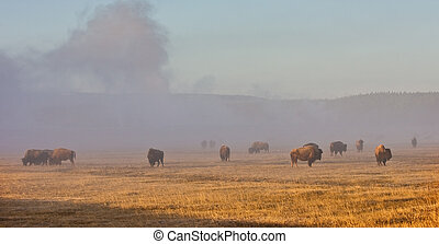 bison herd in Yellowstone park