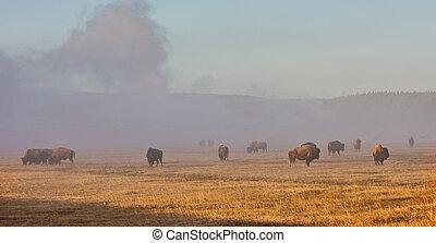 bizon, stado