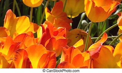 Dutch tulip border orange + pan - full screen