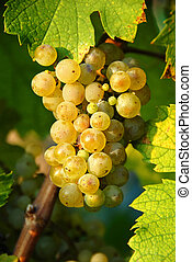 Grapes cluster - yellow ripe grapes cluster in sunshine in...