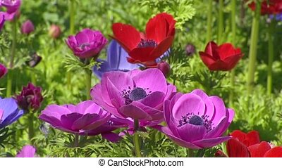 Anemone in blue, red and purple - full screen background -...