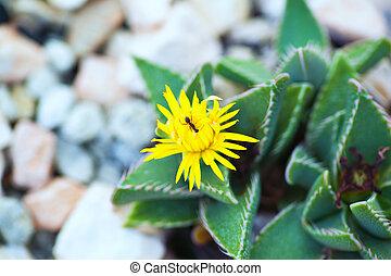 Flower of Faucaria longidens, Aizoaceae