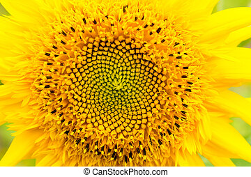 Close up of eddy bear, Sunflower