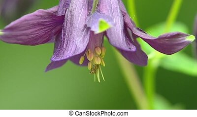 Common Columbine, Aquilegia vulgaris - extreme close up