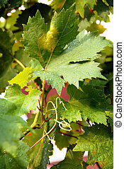 Viny leaves - viny green leaves with water drops in vineyard...
