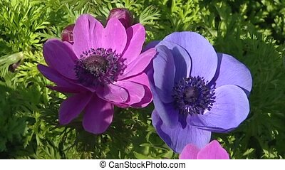 Anemone in pink and blue.  - full screen