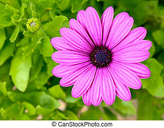 Pink daisy flower against leaves - Pink and purple daisy...