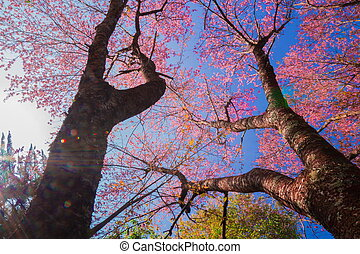 Cherry blossom trees - Cherry blossom in the spring