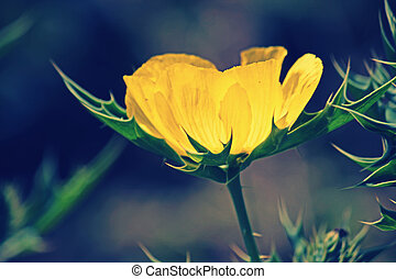Argemone mexicana, Mexican poppy, Mexican prickly poppy,...