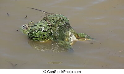 African giant bullfrogs laying eggs - A pair of African...