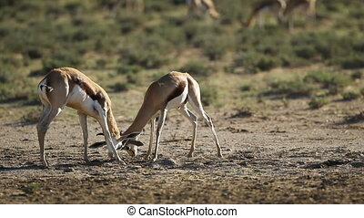 Fighting springbok antelopes - Springbok antelopes...