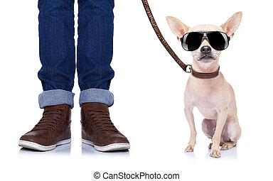 dog and owner - chihuahua dog waiting to go for a walk with...
