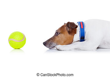 dog play ball - jack russell dog ready to play and have fun...