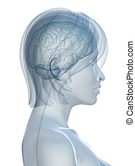 female brain - 3d rendered illustration of a female head...