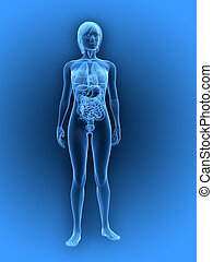 female anatomy - 3d rendered illustration of a transparent...