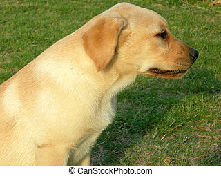 Labrador, dog, profile portrait in a green grass background