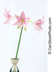 pink amaryllis - flower of pink amaryllis in Japanese vase...