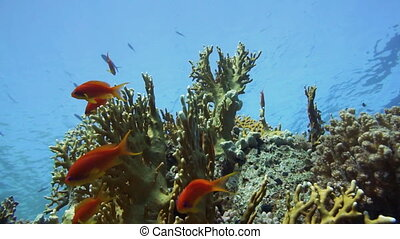 Tropical Anthias fish with net fire corals on Red Sea reef...