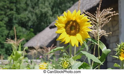 sunflower - Big yellow sunflower near the old house