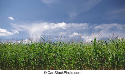 cornfield - Corn field under blue sky