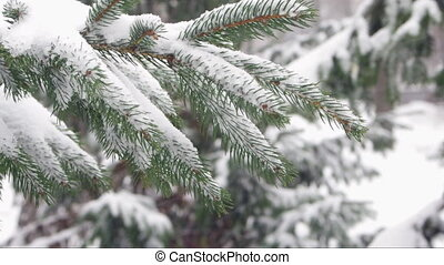 spruce branch - Snow falling on spruce branch