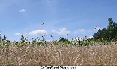 Wheat ears and sunflowers swaying on the wind