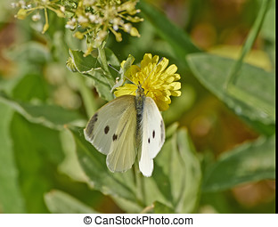 butterfly pollinating a daisy flower - butterfly pollinating...