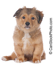 Mixed breed puppy isoplated on white