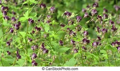 Geranium phaeum, Dusky Cranesbill in bloom - full screen
