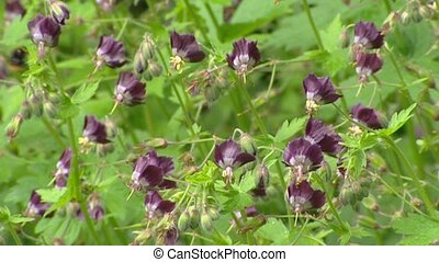 Geranium phaeum, Dusky Cranesbill in bloom - close up