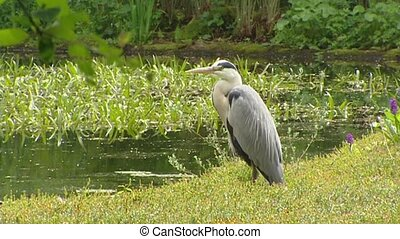 Grey heron Ardea cinerea posting, hunting at the bank of a...