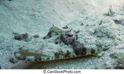 Tentacled flathead (Papilloculiceps longiceps) in the Red Sea