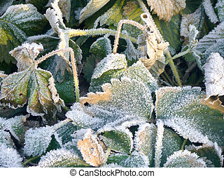 Strawberry Leaves with Hoarfrost