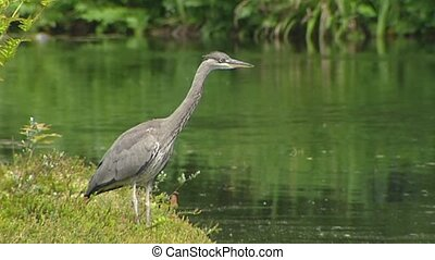 grey heron juvenile Ardea cinerea hunting at the bank of a...