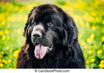 Black Newfoundland Dog Summer Meadow Outdoor Close Up...