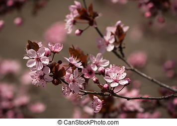 Cherry Blossom Twig - Beautiful Cherry Blossom Twig with...