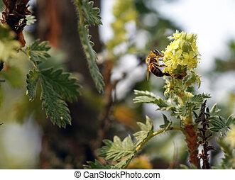 Africanized, Miód, Pszczoła, kwiat